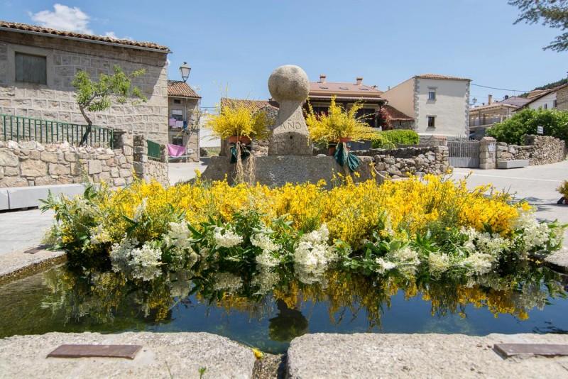 Festival del piorno en flor