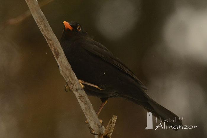 Birding en Gredos