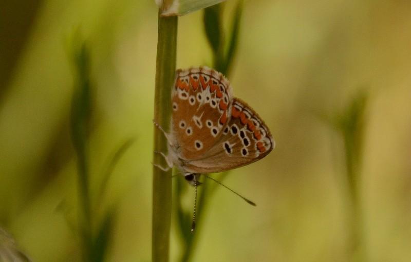 gredos mariposa 1