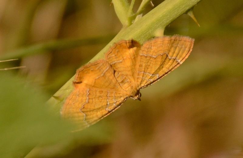 gredos mariposa