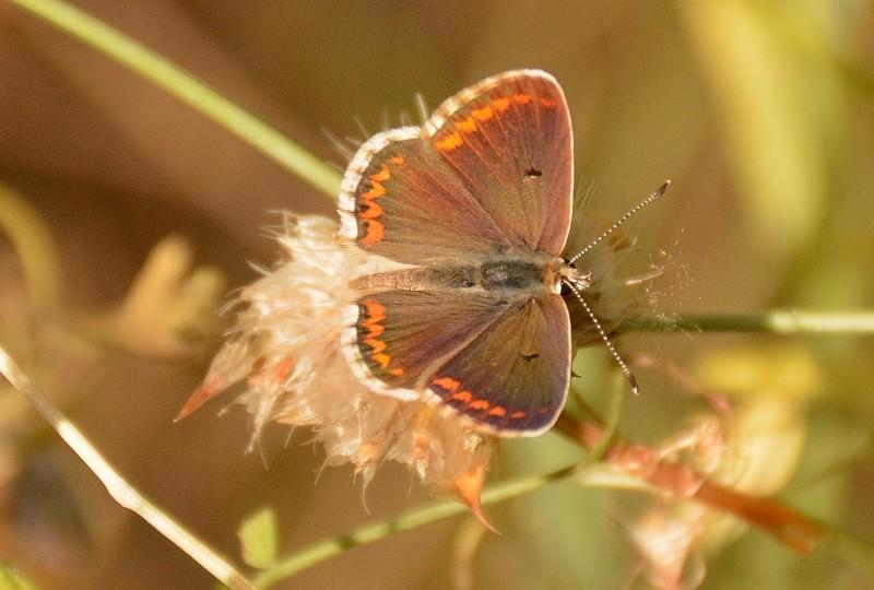 mariposa en gredos
