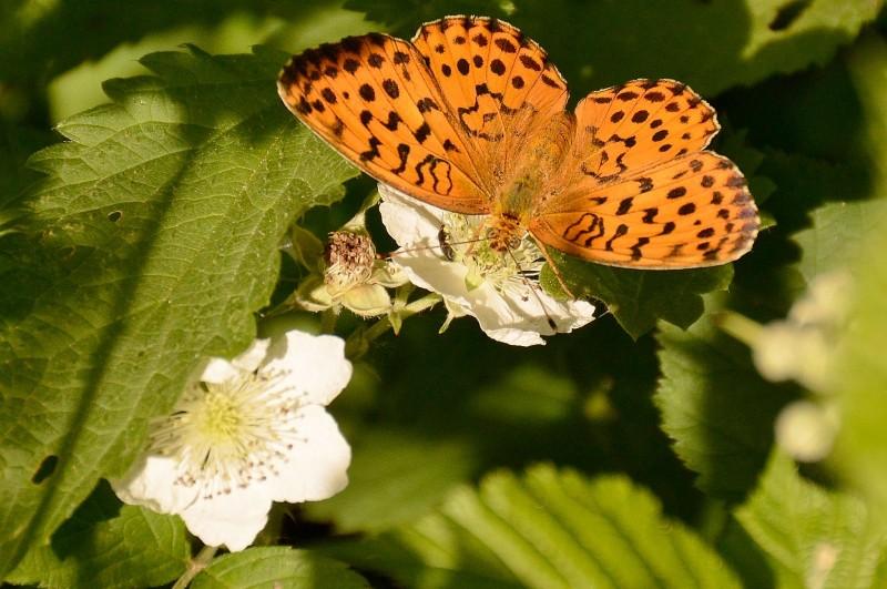 mariposa gredos