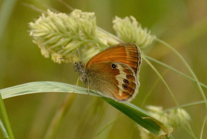 mariposas en gredos