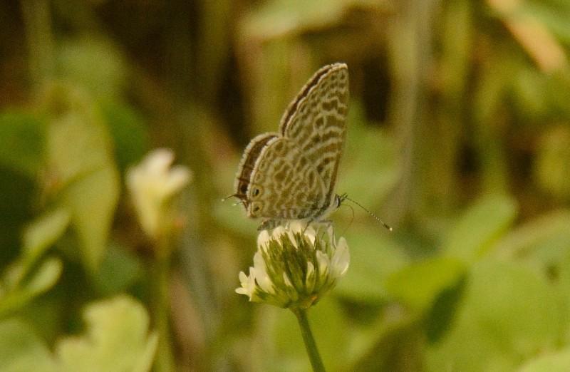 mariposas gredos 1