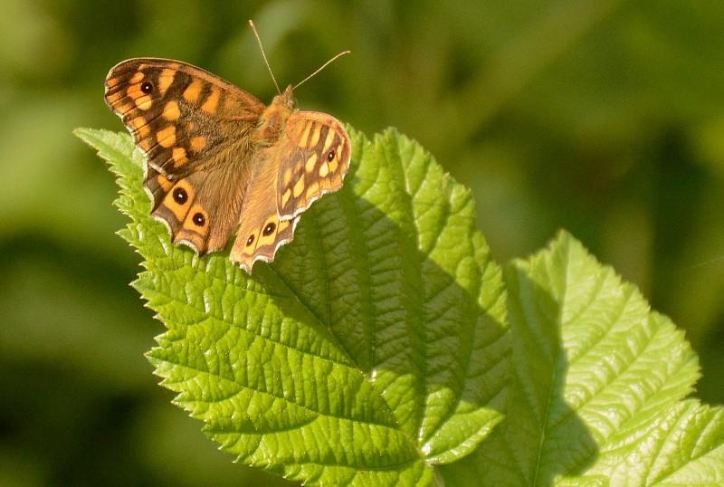 mariposas gredos
