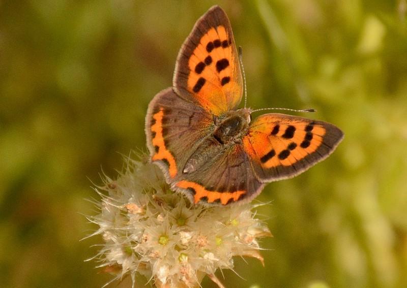 mariposas sierra de gredos
