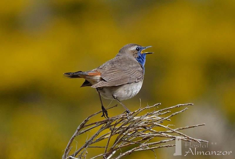 Por qué las aves cantan tanto en primavera