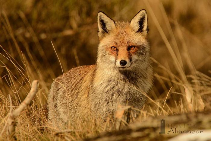 zorro en gredos