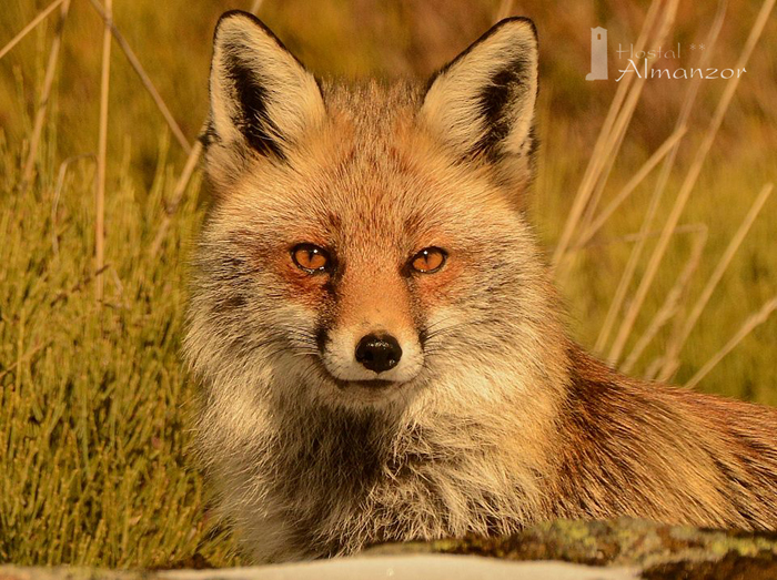 curiosidades sobre los zorros