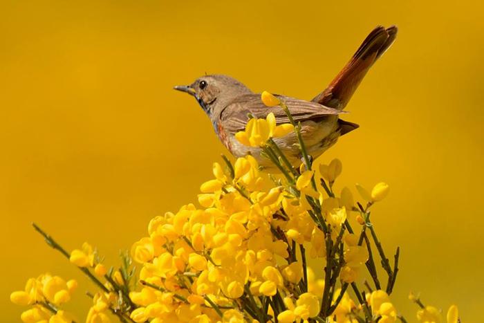 pechiazul en primavera