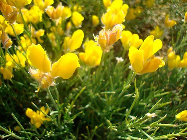 qué es el festival del piorno en flor